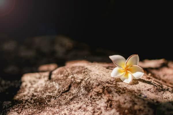 White Plumeria flower with brown brick